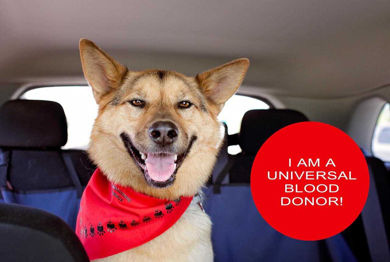 Shepherd-dog-smiling-calgary-dog-life
