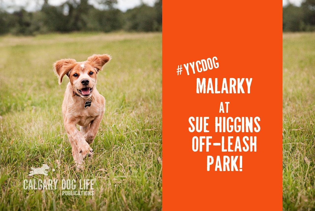 calgary dog offleash parks Malarky Springer spaniel image